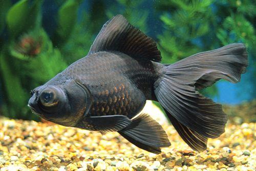 Broadtail Moor Goldfish 1