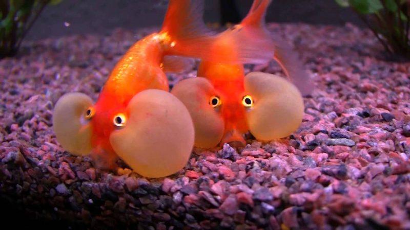 Bubble Eye Goldfish Care Types of Goldfish