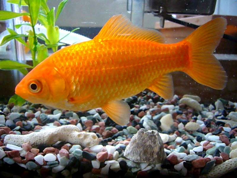 Common Goldfish
