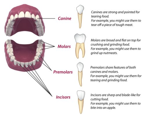 Functions of teeth 1