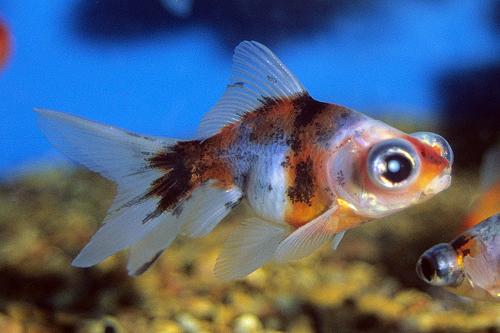 Globe Eye or Telescope Goldfish