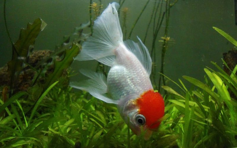 Oranda Goldfish Types of Goldfish