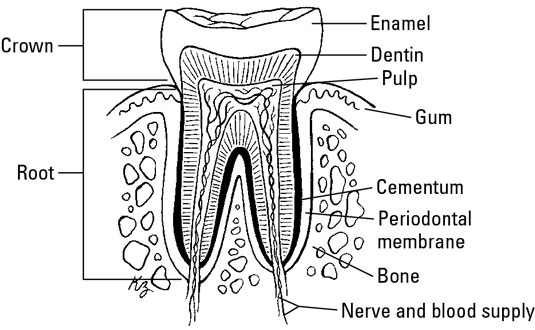 The Parts of the Tooth