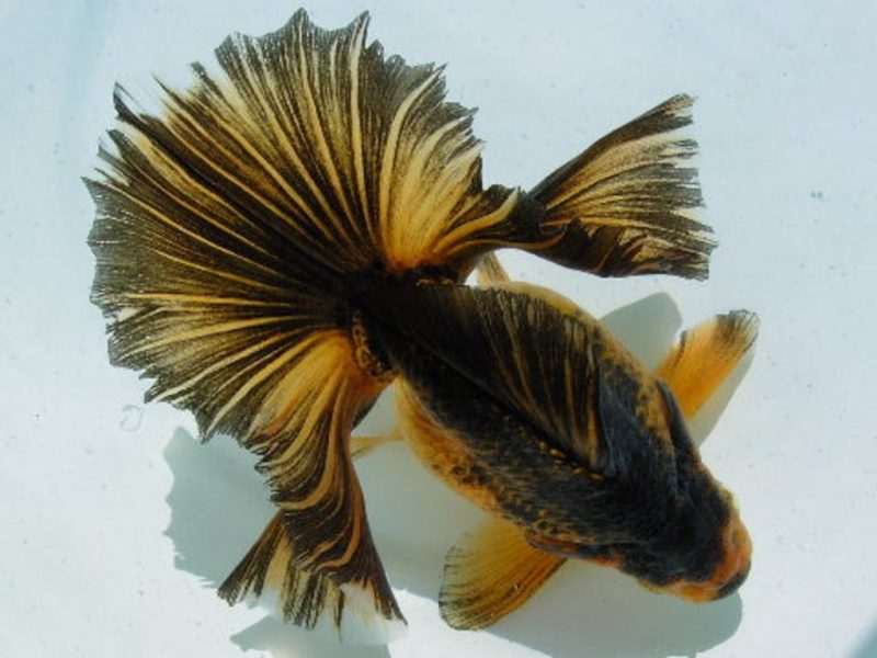 Tosakin Goldfish
