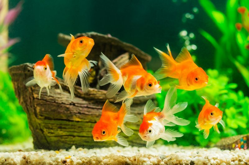 Types of Goldfish for Aquarium