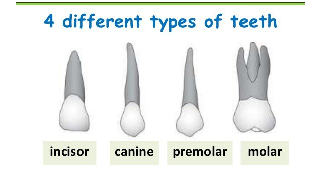 Types of Teeth and What They Do