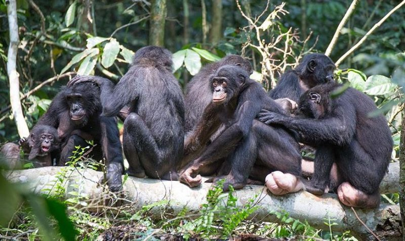 Animals Names Start With B (Bonobo)