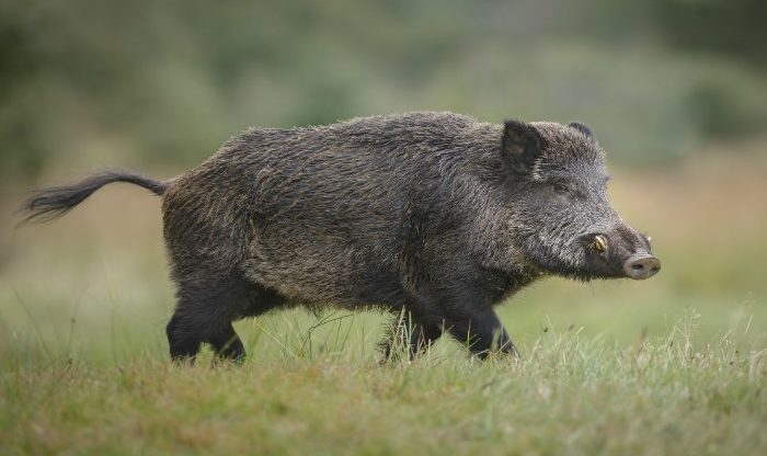 Animals That Star with B (Boar)
