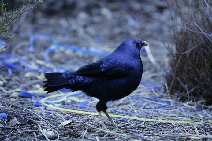 Animals That Start With B (Bowerbird)