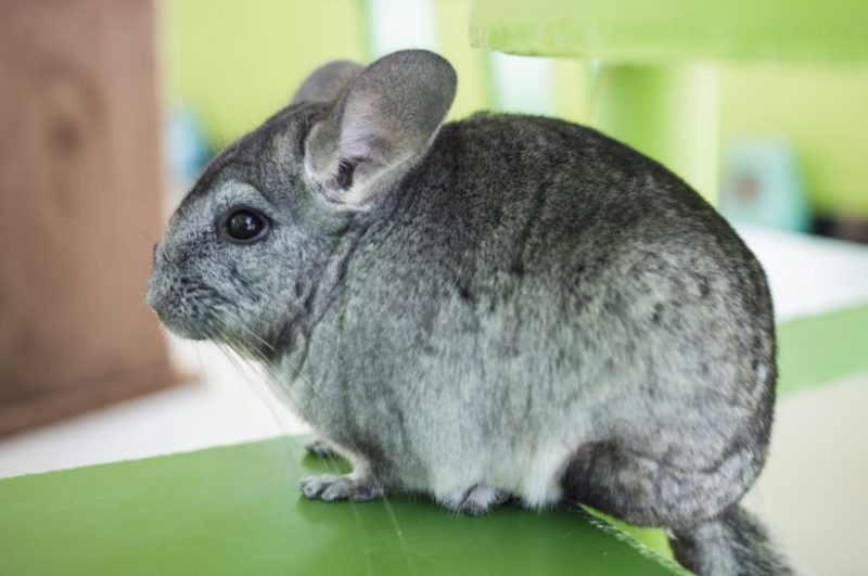 Animals That Start With C (Chinchilla)