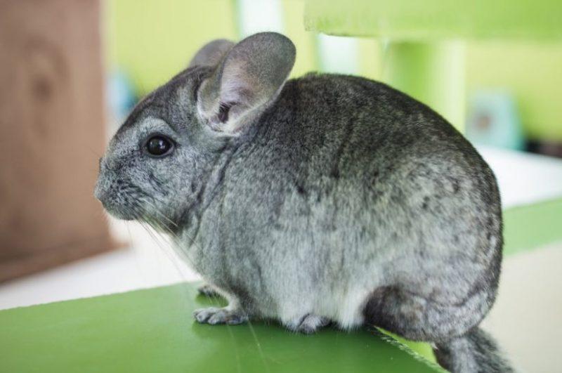 Animals That Start With C (Chinchilla)