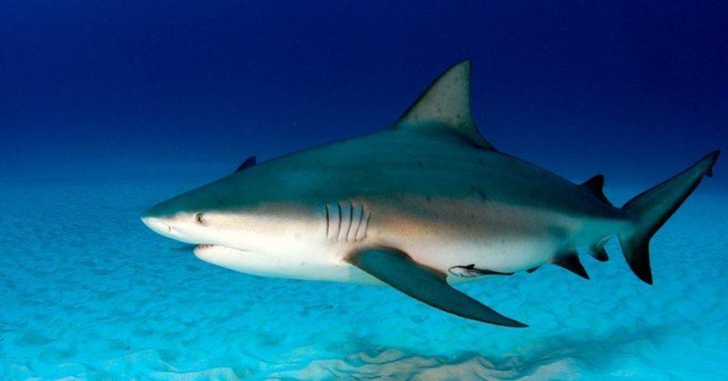 Animals That Start with B (Bull Shark)