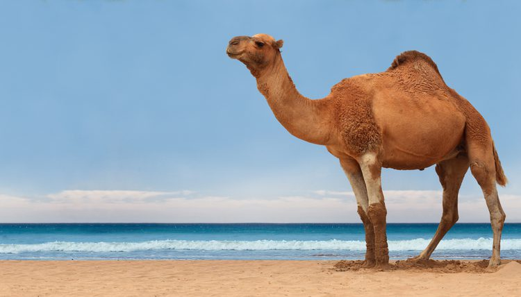 Camel Animals That Start With C