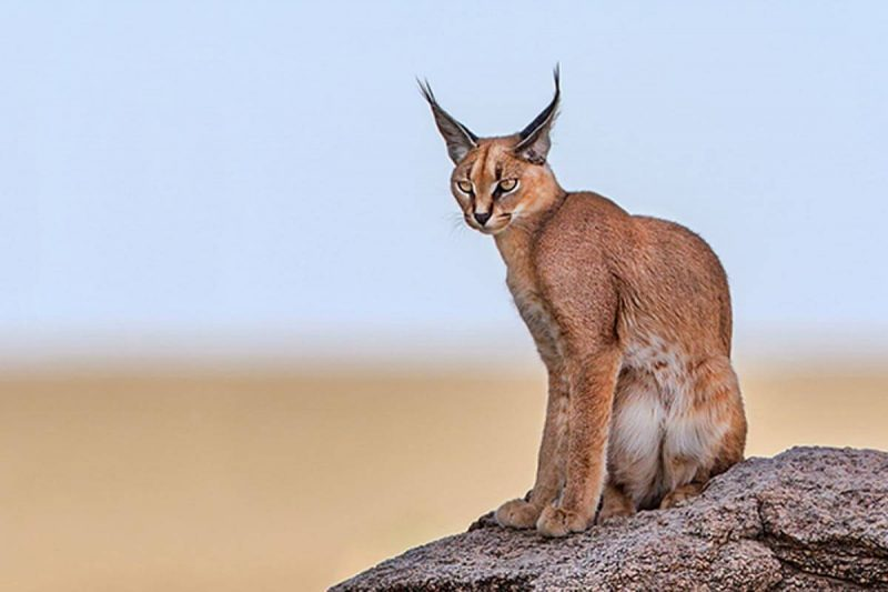 Animals That Start with C Caracal