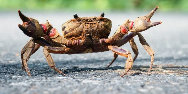 Crab Animals That Start With C