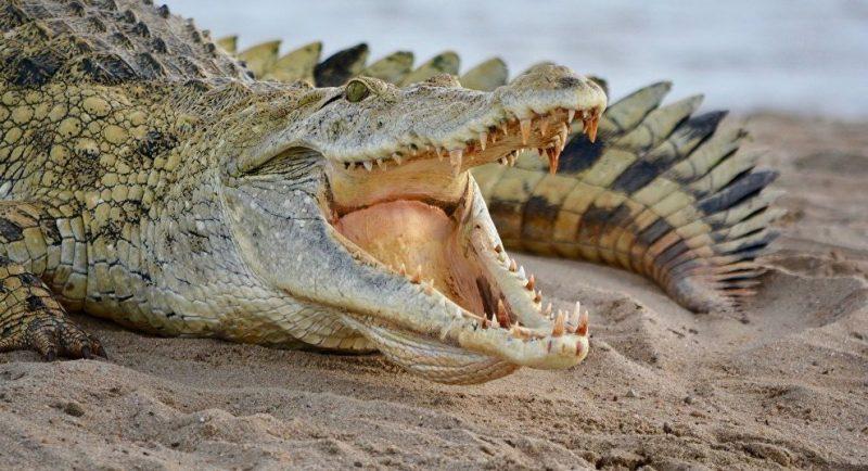 Crocodile Animals That Start with C