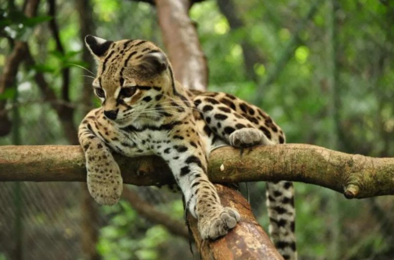Margay (Animals That With M)