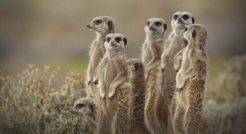 Animals That Start With M (Meerkat)