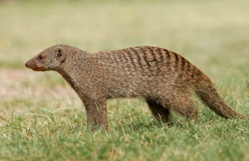 Animals That Start With M (Mongoose)