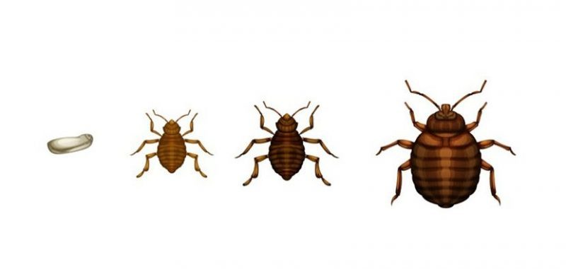 The Bedbug Life Cycle