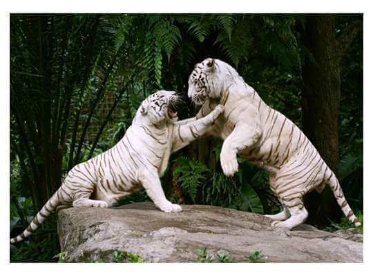 Facts about White Tiger Fighting Among White Tigers