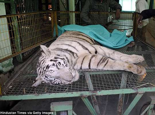 Facts about White Tiger High Mortality Rate