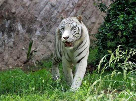 Facts about White Tiger Large Roaming Area