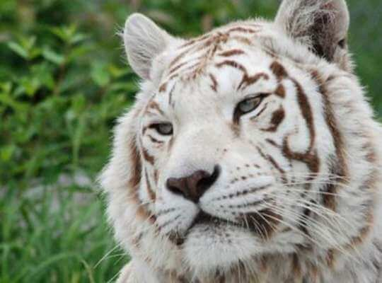 Facts about White Tiger Not Albino