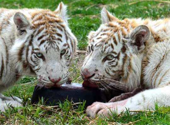 Facts about White Tiger Spayed and Neutered