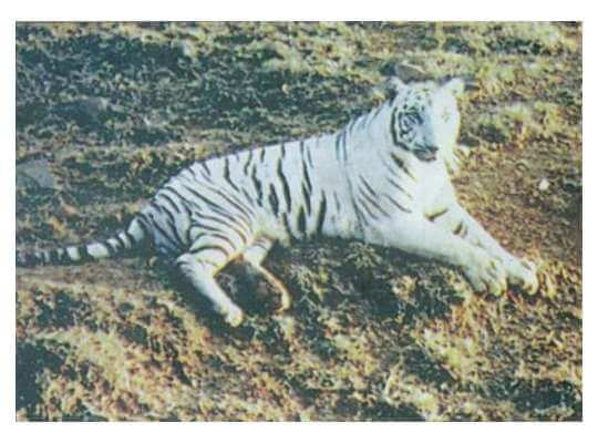 Facts about White Tiger The First White Tiger Named Mohan