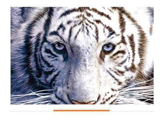 Facts about White Tiger Unique Body Marks