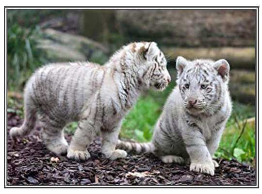 Facts about White Tiger White Tigress Attention to the Cubs