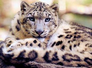 body of a snow leopard is smaller