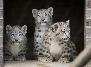 facts snow leopard