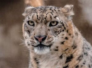 facts snow leopard