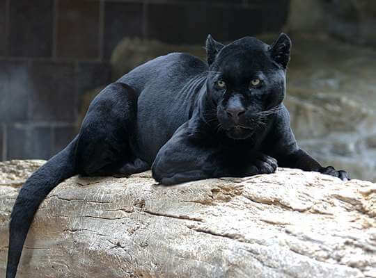 facts about black panther animal