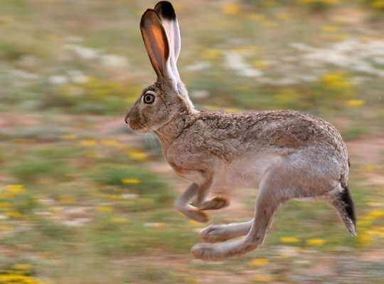 fastest animal