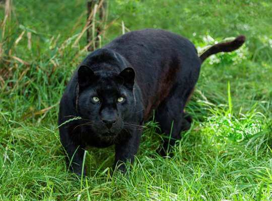 facts about black panther tails