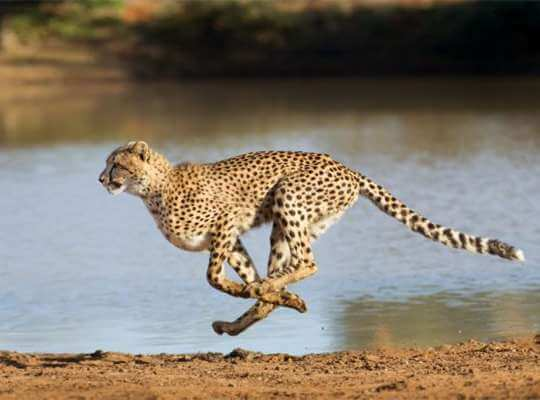 are cheetahs the fastest animal in the world