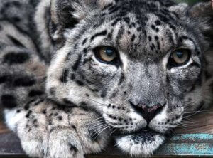 facts about himalayan snow leopard