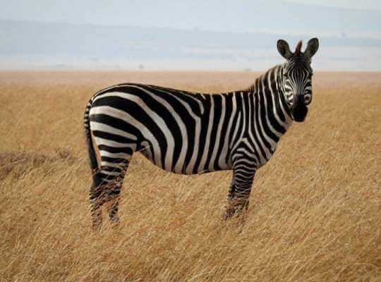 the fastest running animal in the world