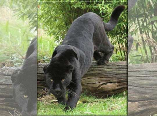 interesting facts about black panther animal