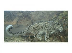 facts about snow leopard cubs