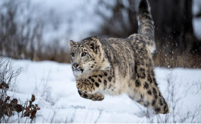 Facts about snow leopard The Prey