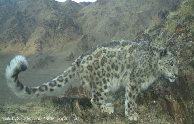 Fun interesting facts snow leopard