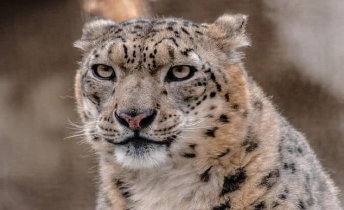Interesting Facts Snow Leopard