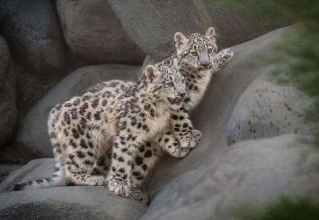 Large Claws Facts Snow Leopard