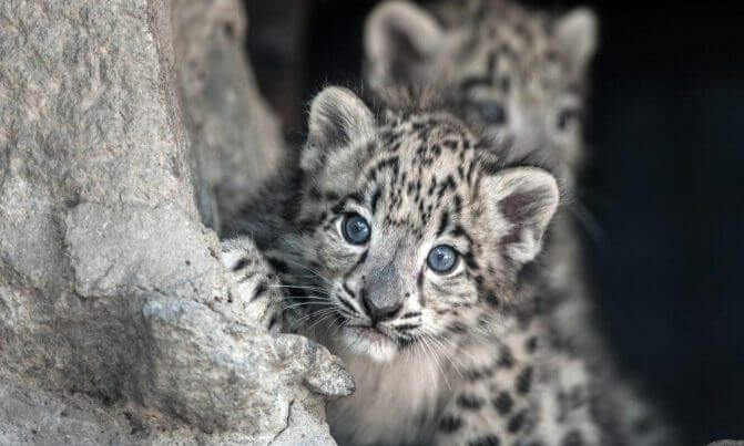Facts Snow Leopard The Newborns