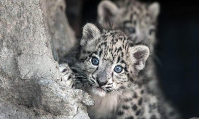 Facts Snow Leopard The Newborns
