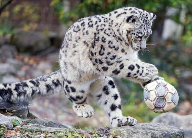 facts about snow leopard